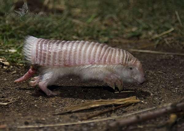 Un spécimen de tatou tronqué photographié en Argentine. © Pablo Rinaudo