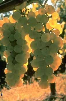 Obtention de raisins de table actuellement en cours d'étude à MontpellierCrédit : INRAAuteur: Wagner R.