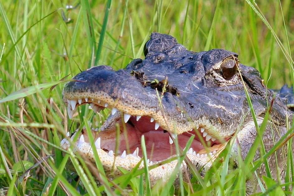 Les alligators d'Amérique mâles (Alligator mississippiensis) atteignent généralement 4 à 4,5 m de long à l'âge adulte. Les femelles mesurent quant à elles 3 m de long. © Mary Keim, Flickr, cc by nc sa 2.0