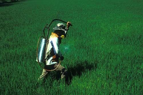 Ouvrier agricole pulvérisant des pesticides dans un champ de riz. Crédit : IRRI Images CC