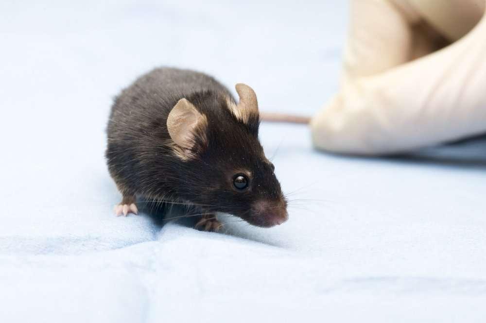 Chez la souris, on sait maintenant comment obtenir des spermatozoïdes à partir de cellules souches embryonnaires. © Jaroslav74/shutterstock.com
