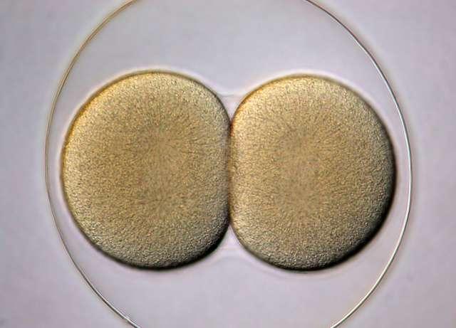 Les cellules des premiers stades embryonnaires sont des cellules souches totipotentes : elles peuvent générer un embryon entier. © Bruno Vellutini, Flickr, CC by-sa 2.0