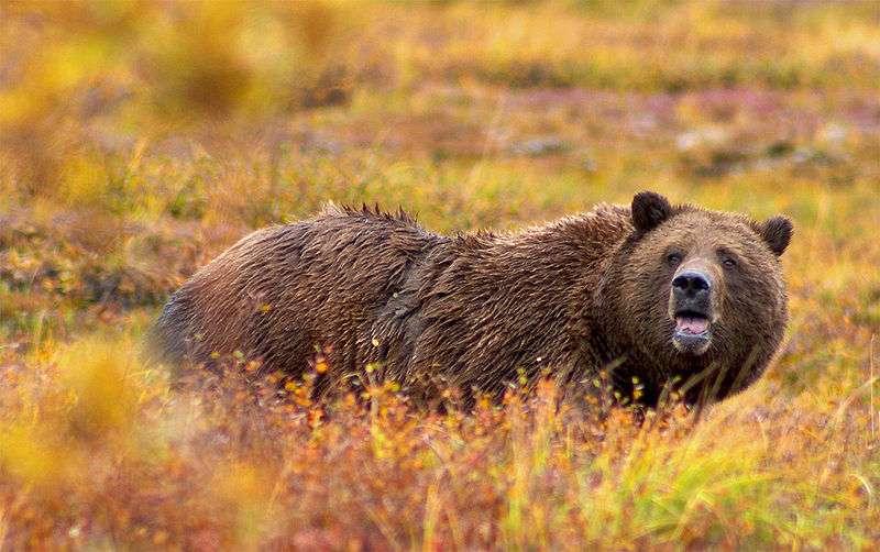 En changeant de comportement alimentaire, le grizzly peut modifier la flore autour de lui. © Diliff, Wikipédia, CC BY 2.5