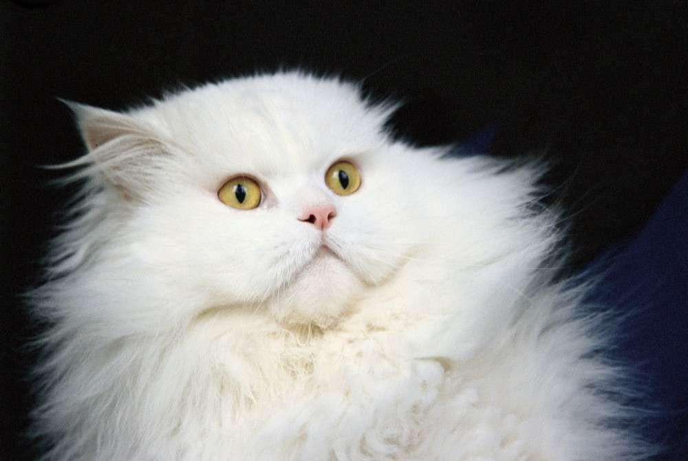 Certains patients ont peur des chats noirs par superstition. Les ailurophobes craignent les chats par-dessus tout. © Phovoir