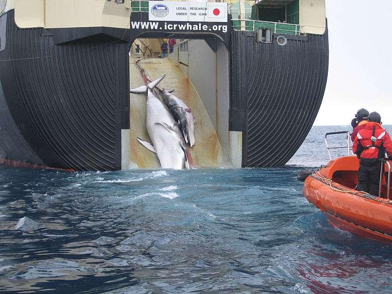 Les baleiniers scientifiques japonais, comme le célèbre Nisshin Maru qui remonte une baleine de Minke et son petit, ne seront plus autorisés à pêcher les cétacés dans les mers australes pour ne pas avoir respecté les conditions du moratoire qu'ils avaient signé. © Customs and Border Protection Service, Commonwealth of Australia, Wikipédia, cc by sa 3.0