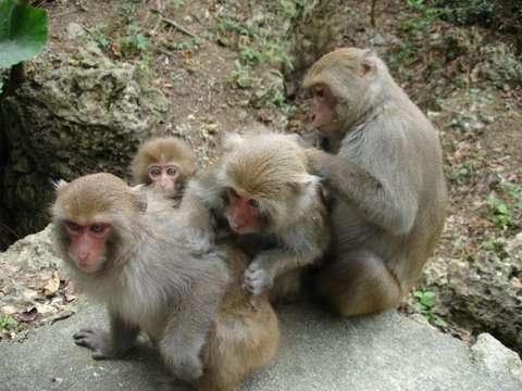 Photo de macaques de Formose. © Minna J. Hsu, domaine public
