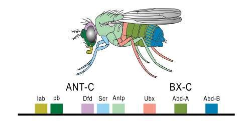 Les gènes Hox de la drosophile (des gènes homéotiques) et leur correspondance avec les éléments morphologiques de la mouche. © PhiLiP, Wikimédia domaine public