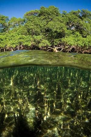 Mangrove de Madagascar. Sous l'eau, on peut voir les pneumatophores des palétuviers, ces organes qui permettent aux racines de respirer malgré l'absence d'oxygène dans les vases où elles s'enfoncent. © UICN, GMSA