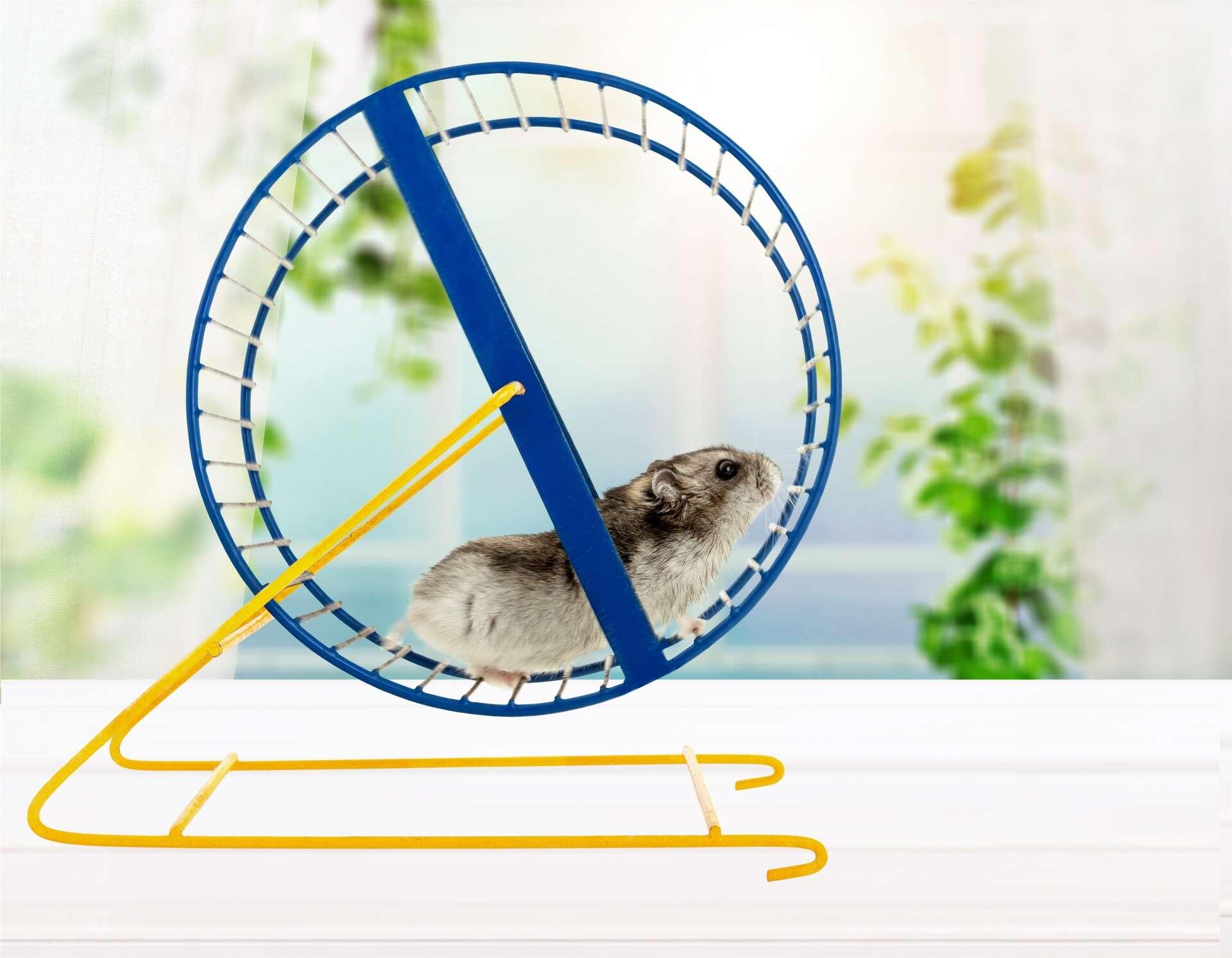 Une souris sédentaire à laquelle on injecte du sang de souris ayant couru pendant 28 jours dans une roue bénéficie des mêmes bienfaits physiques. © BillionPhotos.com, Adobe Stock