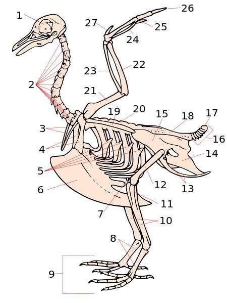 Le pygostyle est indiqué par le numéro 17 sur ce squelette de pigeon. Le nom de cet os provient du grec ancien pygon (fesse) et du latin stilus (tige, ou stylet). © Biodidac, Wikimedia Commons, cc by 2.5