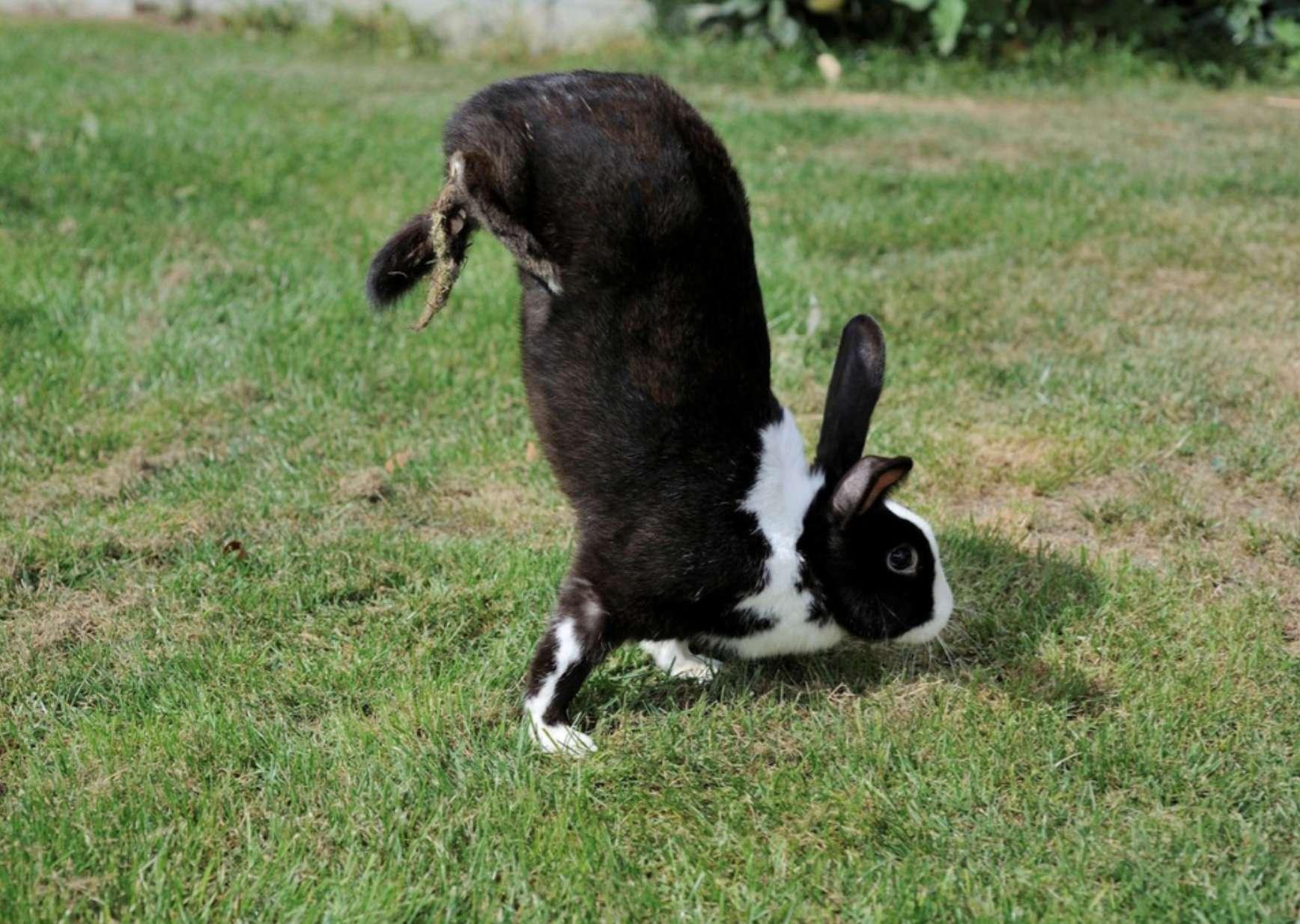 Un lapin qui se déplace par locomotion saltatoire. © Miguel Carneiro et al. Plos Genetics