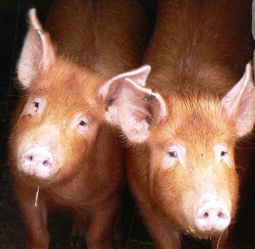Un virus apparu dans les élevages de porc mais qui se transmet d'homme à homme. © johnmuk / Flickr - Licence Creative Common (by-nc-sa 2.0)