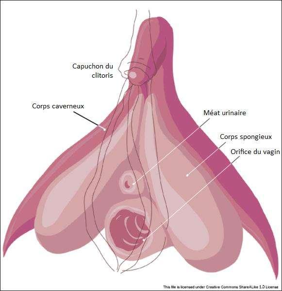 La vulve comprend entre autres le clitoris, le méat urinaire et l'orifice du vagin. © Licence Creative Commons
