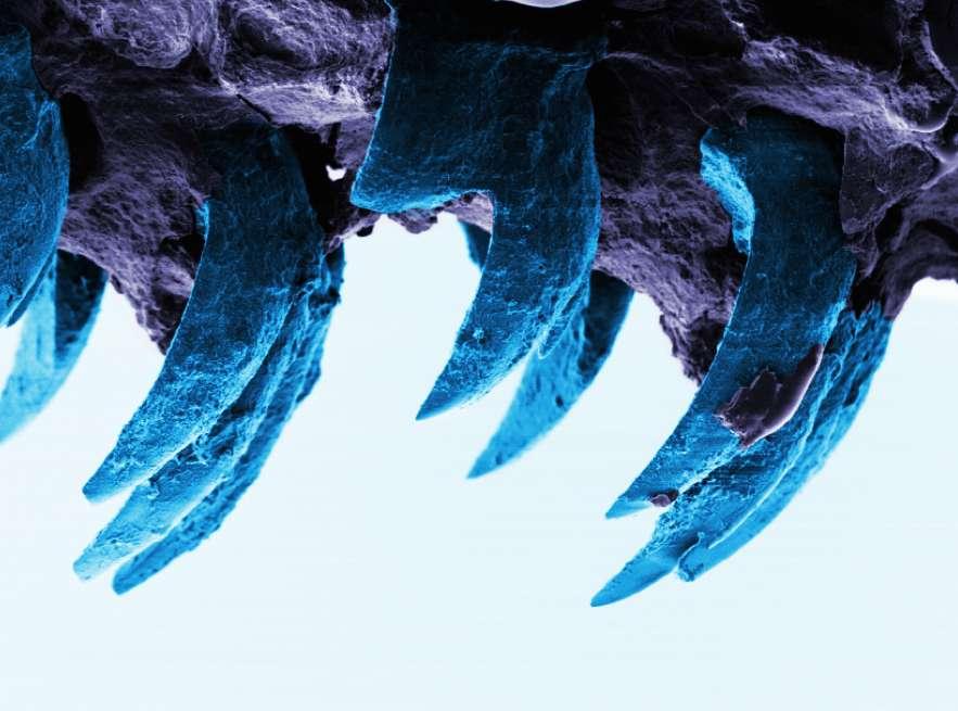 Cette image en fausses couleurs montrent les dents des patelles, des gastéropodes communs se nourrissant d'algues et vivant fixés sur les rochers périodiquement découverts par les marées. Elle a été prise avec un microscope électronique. © University of Portsmouth