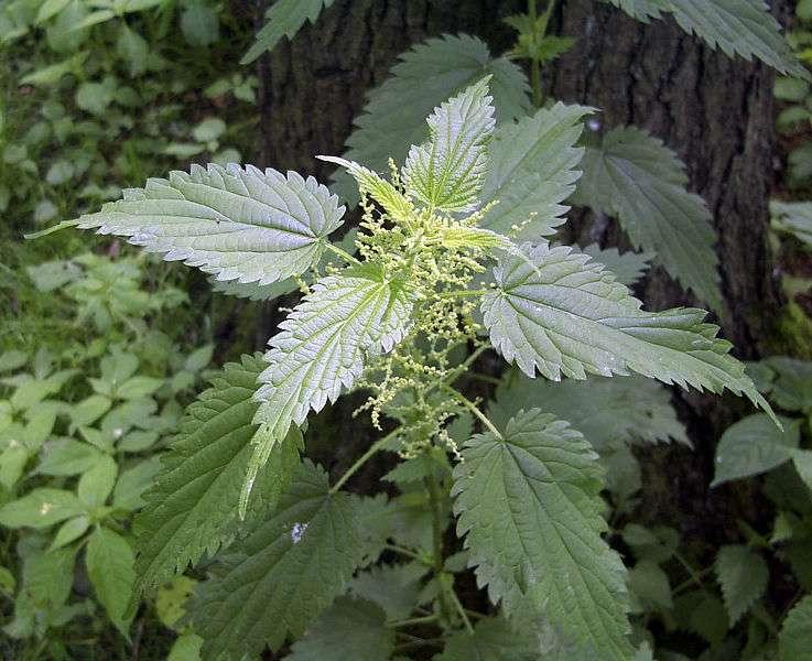 Si l'on n'apprécie pas qu'elles nous piquent, les orties font partie des plantes médicinales. Elles sont notamment connues pour leurs propriétés anti-inflammatoires, et font partie des ingrédients de certaines recettes de grand-mère, car elles atténuent les douleurs rhumatismales. Entre autres. © Uwe H. Friese, Wikipédia, cc by sa 3.0