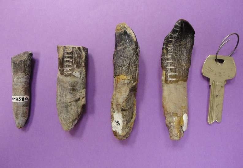 L'analyse de dents de sauropodes suggère que ces dinosaures herbivores effectuaient des migrations saisonnières. © Henry Fricke