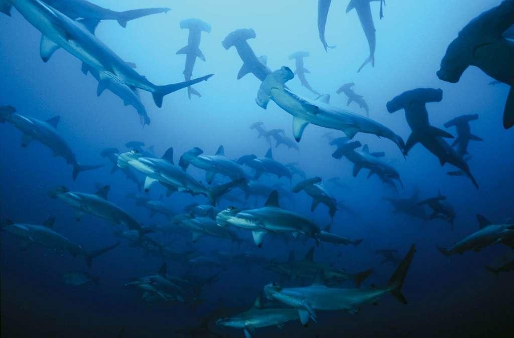 Le requin marteau halicorne (Sphyrna lewini) vit dans les mers tropicales et tempérées chaudes du globe. Il s'agit du sphyrnidé le plus communément rencontré dans les eaux côtières. © Colombia Travel, Flickr, CC by-nc-sa 2.0