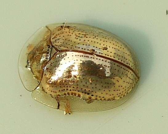Un Charidotella sexpunctata adulte doré. © Ilona Loser, CC by-sa 3.0
