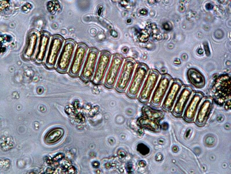 L'algue Scenedesmus et son biocarburant pourraient être une solution alternative au pétrole. © EPA, domaine public