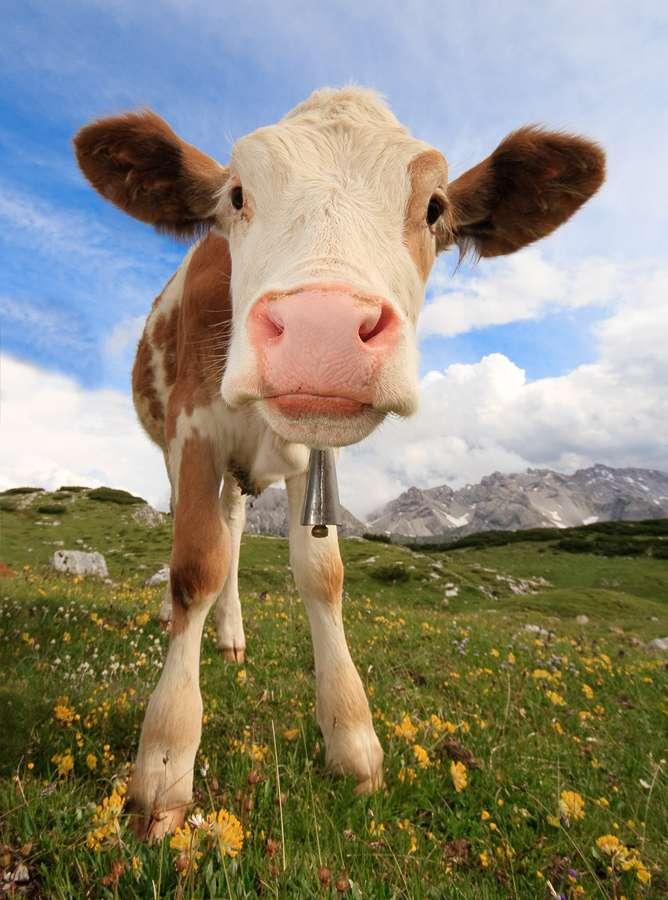 Selon une étude, une souche de staphylocoque doré se serait tout d'abord développée chez la vache avant d'être transmise à l'Homme. © ecatoncheires, Flickr, cc by nc sa 2.0