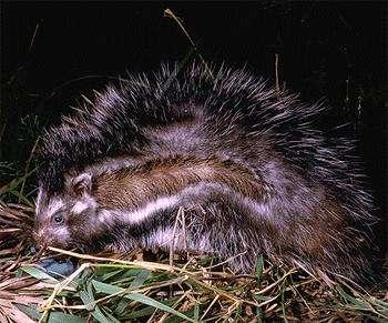 Le rat à crête, ou hamster d'Imhause est le dernier de la sous-famille des Lophiomyinae. Il n'a pas l'air si terrible et un chacal ou un chien errant y donnerait volontiers un coup de dent. Il aurait tort… © Kevin Deacon, Wikipedia, CC-by-sa-3.0