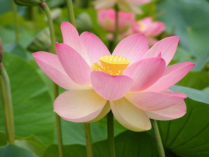 La feuille de lotus est réputée pour être particulièrement hydrophobe et donc difficile à mouiller. Mais on peut faire mieux. © Peripitus, Wikipedia, CC by-sa 4.0