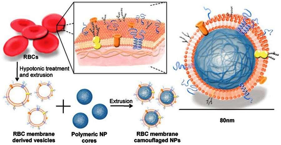 La recette pour produire des membranes de globules rouges recouvrant des nanoparticules. © Pnas