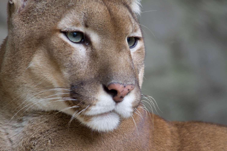 Le cougar (Puma concolor), en anglais Mountain lion, est une des espèces endémiques des États-Unis menacées d'extinction avant la fin du XXIe siècle du fait de plusieurs facteurs, comme le changement climatique et la destruction de son habitat. © Bas Lammers, Flickr, Wikimedia Commons, CC BY 2.0