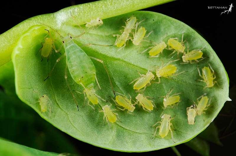 Le puceron vert du pois (Acyrthosiphon pisum), un insecte homoptère mesurant 2,5 à 4,4 mm de long, parasite de nombreuses plantes de la famille des légumineuses (pois, haricot, luzerne, etc.). © Bettaman, Flickr, CC by-nc-sa 2.0