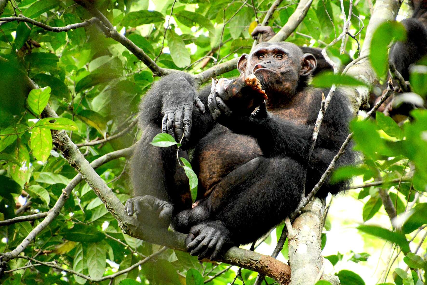 Un chimpanzé du parc national de Loango au Gabon déguste une tortue qu'il vient d'attraper. © Erwan Théleste