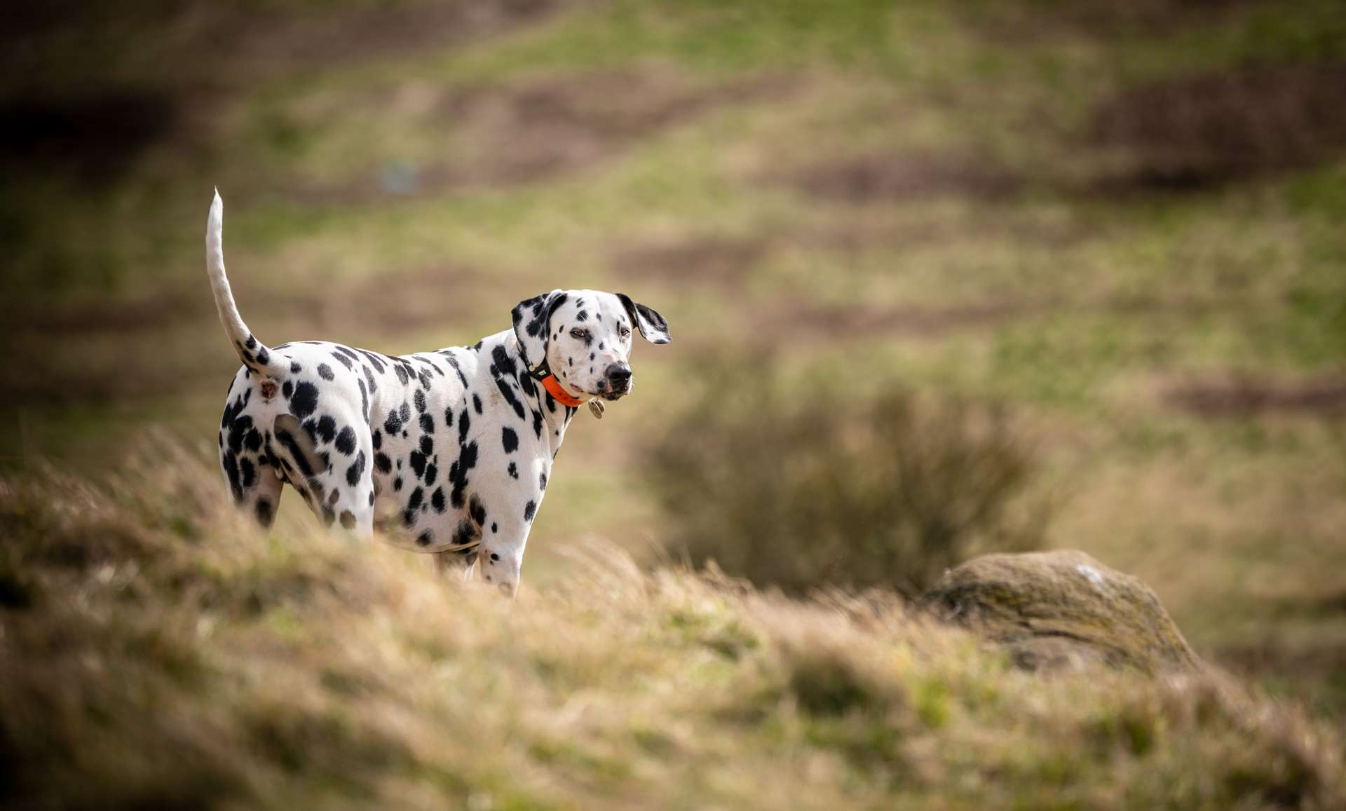 En 2014, une étude suggérait déjà que les chiens utilisaient la magnétoréception... afin de faire leurs besoins selon l'axe magnétique nord-sud. © SAJ, Adobe Stock
