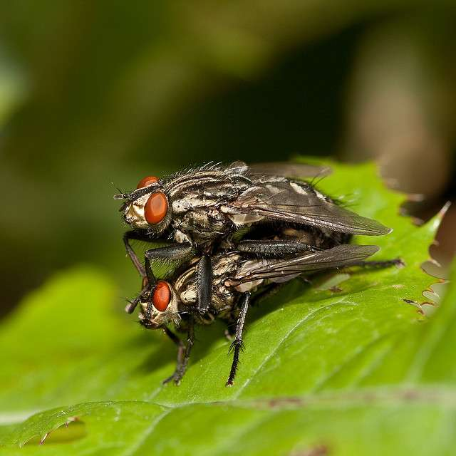 Chez les diptères, la fécondation est interne. © Kain Kalju CC by 2.0