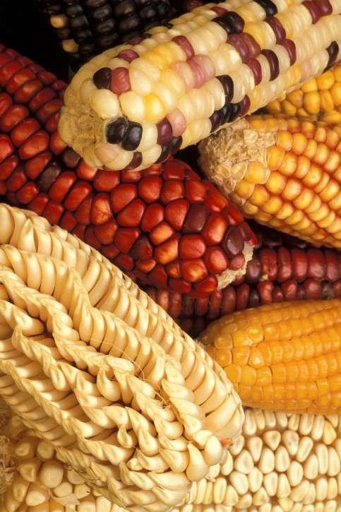 Le maïs OGM NK603 est-il nocif ? La question pourrait toujours se poser si effectivement les chercheurs doutent de la méthodologie et des résultats de l'étude de Gilles-Éric Séralini. Faut-il mener de nouvelles études pour confirmer ou infirmer ce travail ? Sûrement. Mais qui pour le faire ? © www.public-domain-image.com