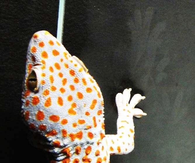 Le gecko (Gecko gecko) Diego utilisé pour les expérimentations laisse des empreintes bien visibles sur le support noir : ce sont les traces de doigt plus claires en haut à droite, devant la patte. © Ping Yuan Hsu/University of Akron