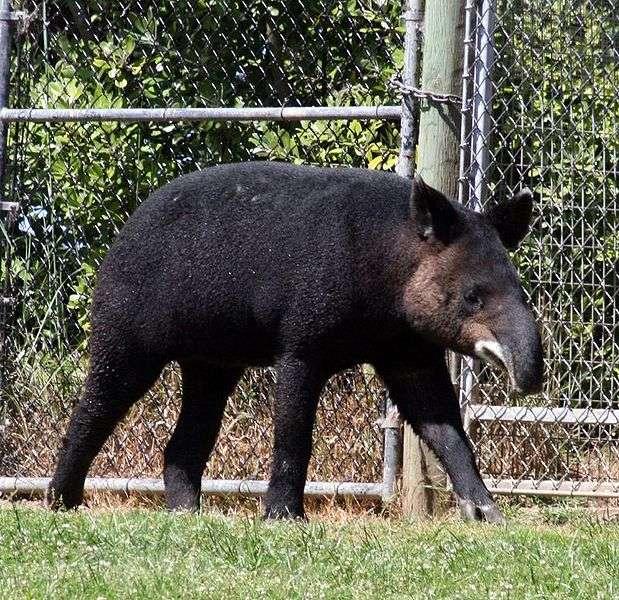 On remarquera l'aspect laineux de la toison du tapir de montagne. © Just chaos, Wikipédia, cc by 2.0