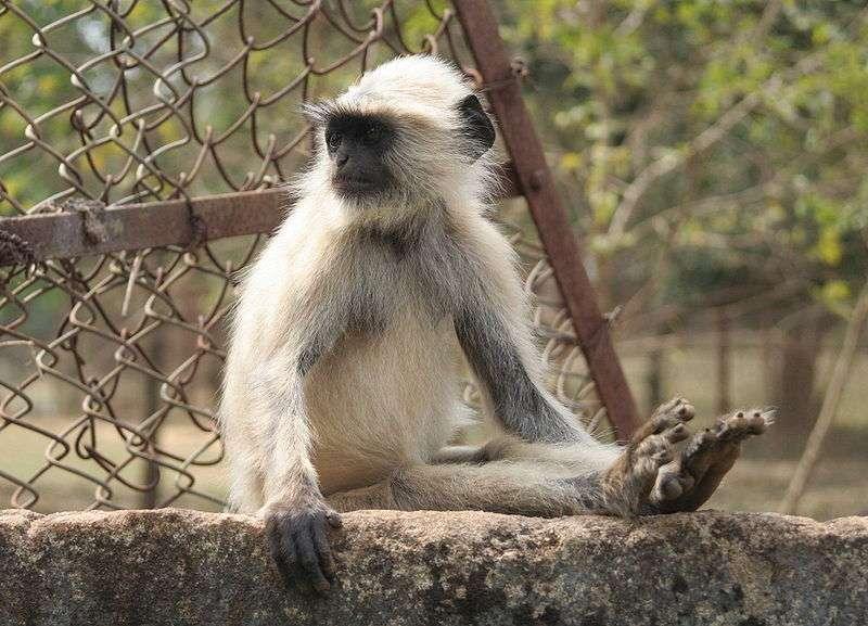 L'entelle d'Hanuman doit son nom au dieu singe de la mythologie hindoue. © Carla Antonini, CC-by-SA 3.0