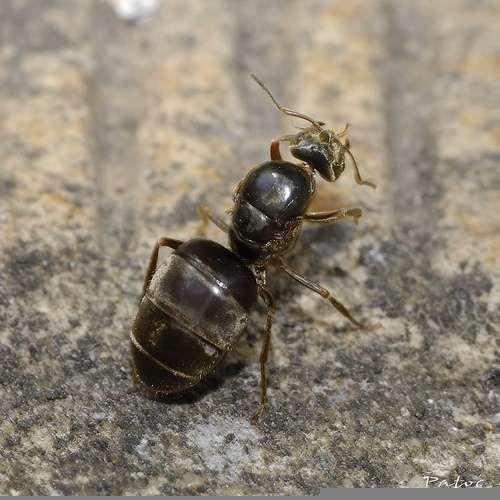 La fourmi possède une glande métapleurale. © stef_dit_patoc, Flickr CC by nc-sa 2.0