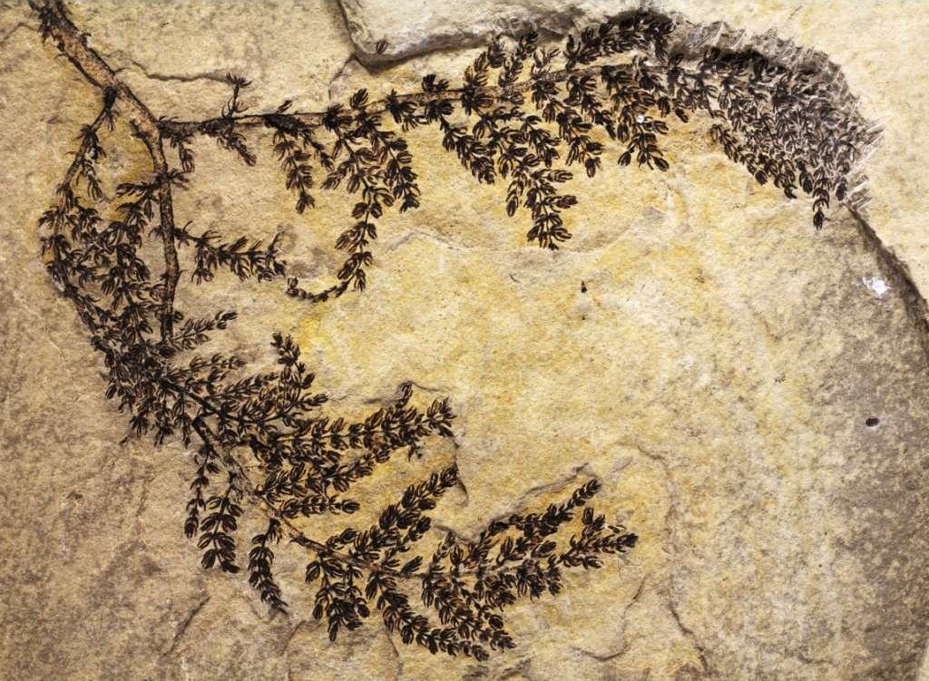 Les restes fossilisés de Montsechia vidalii (Zeiller) Teixeira que l'on voit sur cette photo, appartenaient à une plante qui vivait en Espagne entre 130 et 125 millions d'années. On sait maintenant que Montsechia est la plus ancienne angiosperme connue. © Bernard Gomez