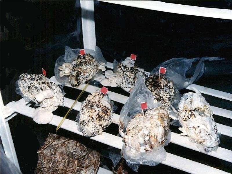 Jusqu'à 8.000 couches-culottes sont utilisées par enfant au cours de leur jeune âge, indique l'Agence de protection de l'environnement des États-Unis. Des chercheurs ont trouvé un moyen de les recycler à l'aide de champignons « couchophages », comme on peut le voir sur cette photo. © Investigación y Desarrollo