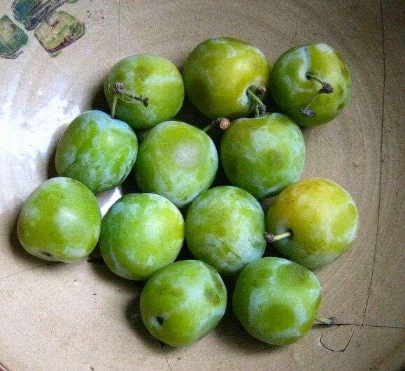La reine-claude est une prune de couleur verte, créée en France. © DR