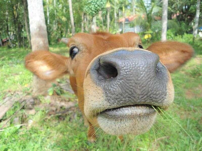 Une vache émet des sons graves ou aigus selon le contexte. © Roboiitgrs, Wikimedia Commons, cc by sa 3.0