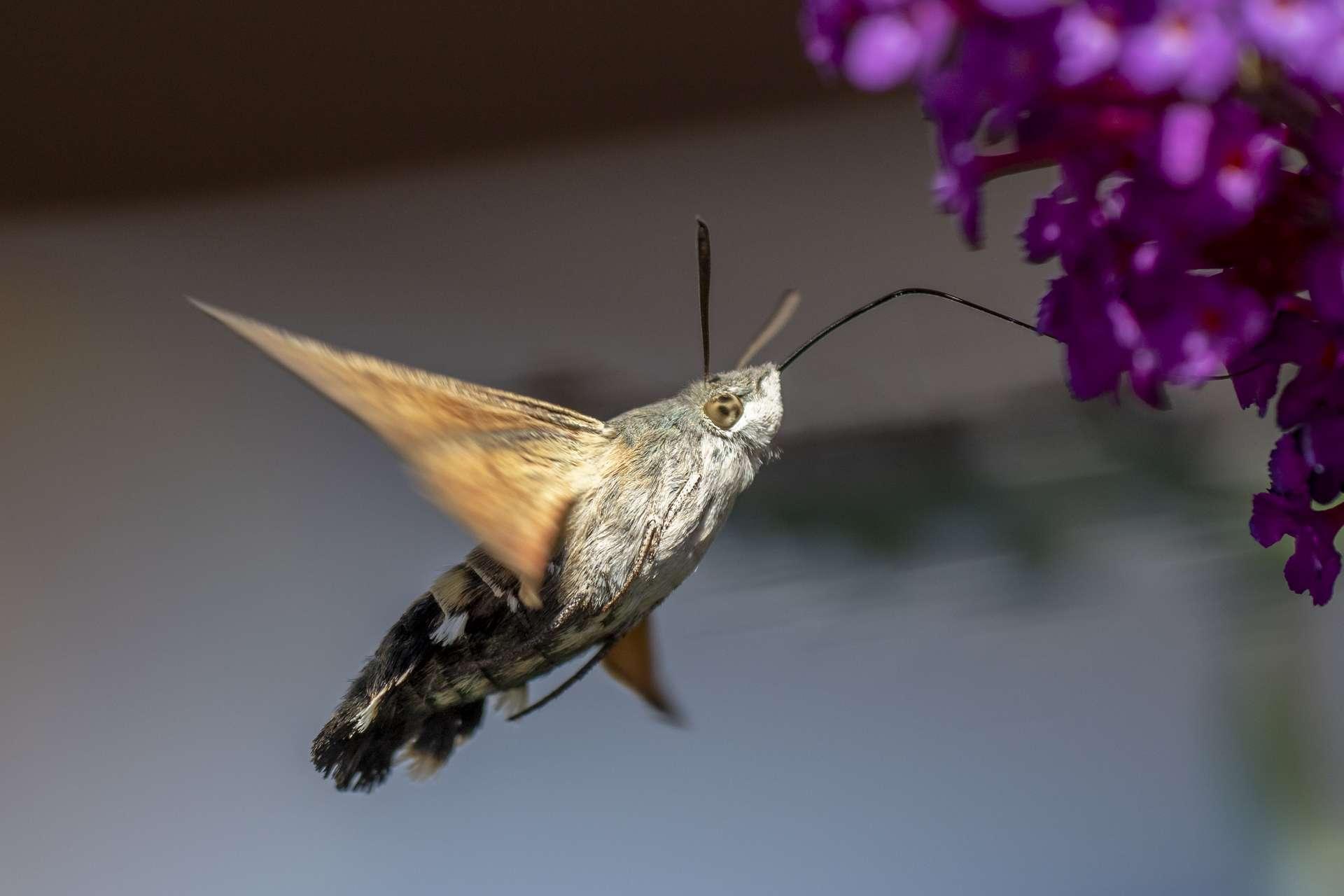 Macroglossum stellaratum, papillon de la même famille que Hemeroplanes triptolemus en train de butiner. © Rolf Müller, Adobe Stock