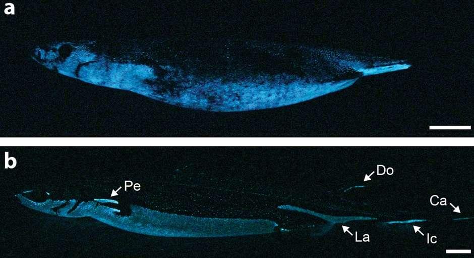 Sur ces photos, on observe deux profils différents des photophores : une répartition ventrale chez Squaliolus aliae (a) et une organisation plus complexe chez Etmopterus spinax (b). Les flèches indiquent des marques de photophores qui ne servent pas à la contre-illumination. © Claeys et al., Scientific Reports, 2014, cc by nc nd 3.0