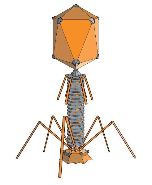 Le phage lambda est un bactériophage, avec une tête, une queue et des fibrilles. © adenosine, Wikimedia, CC by-sa 3.0