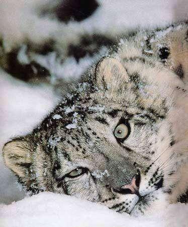 Léopard des neiges - Mongolie