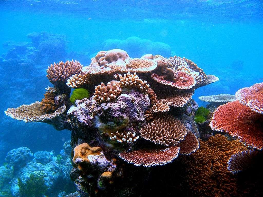 La Grande Barrière de corail est le plus grand récif corallien au monde. Située au large de l'Australie, elle s'étend sur près de 2.000 km. La Nouvelle-Calédonie suit de peu la Grande Barrière de corail, avec une étendue de 1.600 km. Ce sont pourtant des régions où les nutriments manquent. © Toby Hudson, Wikipédia, cc by sa 3.0