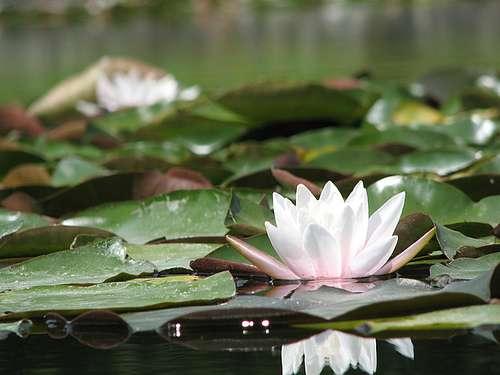 Le nénuphar est l'archétype de la plante hygrophile. © Gbart11 CC by-nc 2.0