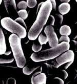 Listeria moncytogenes