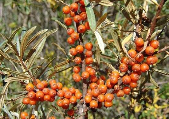 L'argousier, une source naturelle de vitamine C. © F. Le Driant / FloreAlpes.com