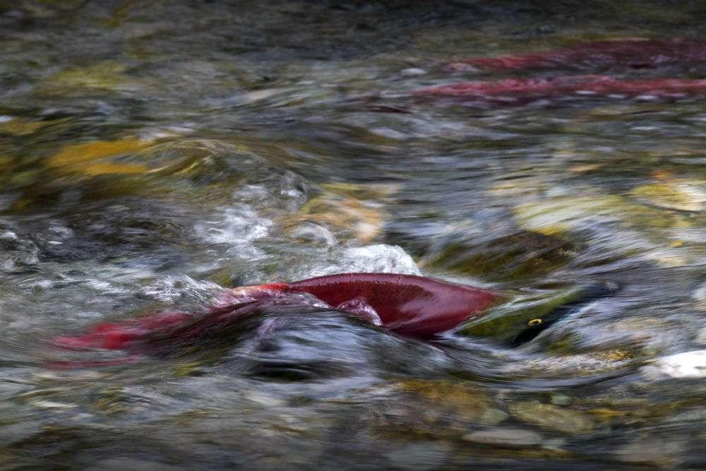 Des dizaines de millions de saumons rouges du Pacifique convergent du Canada vers le fleuve Fraser, en Colombie-Britannique. Pendant quelques semaines, à l'automne, ils y envahissent les cours d'eau et les rivières petites et grandes grouillent de poissons. Ces saumons rouges peuvent parcourir plus de 6.000 km dans le Pacifique avant de remonter leur rivière d'origine. Ils retrouvent leur chemin parce qu'ils ont mémorisé l'intensité du champ magnétique de leur lieu d'éclosion. © Andrew S. Wright, WWF Canada